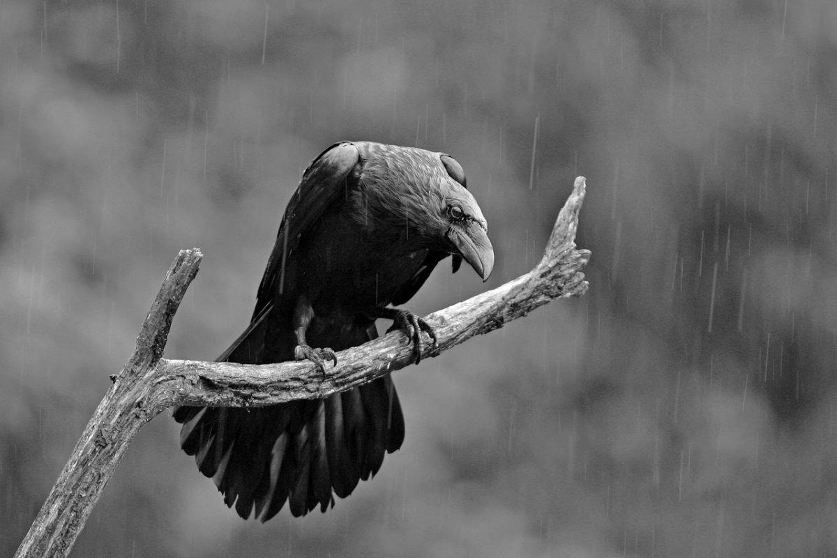 Raven Poo - Good Luck Omen?