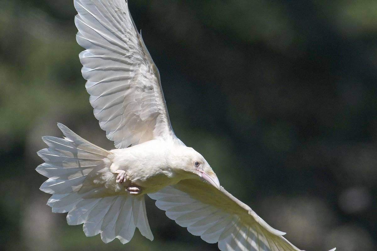 The Spirit Ravens of Qualicum Beach